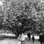 57.フランスで見る桜